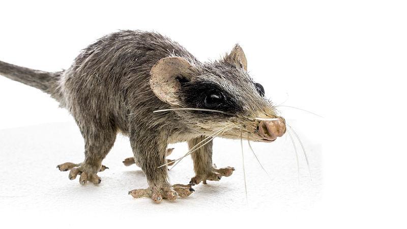 Reconstruction of alphadon, a primitive mammal