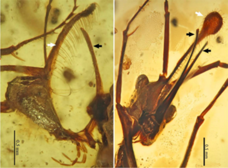 Ceratomyrmex ellenbergeri in amber