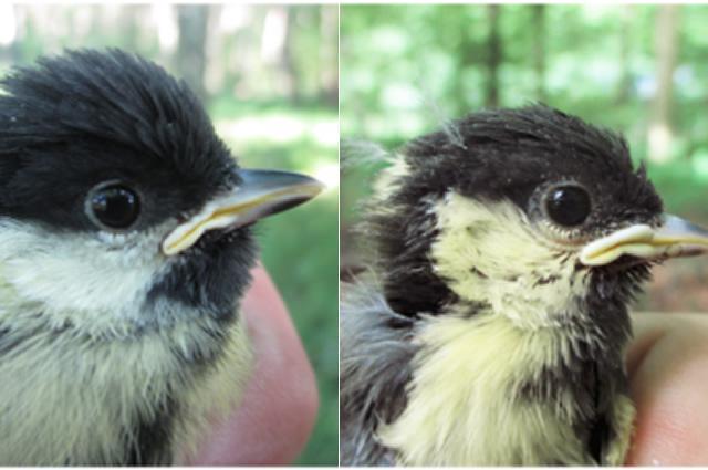 Urban bird versus rural bird
