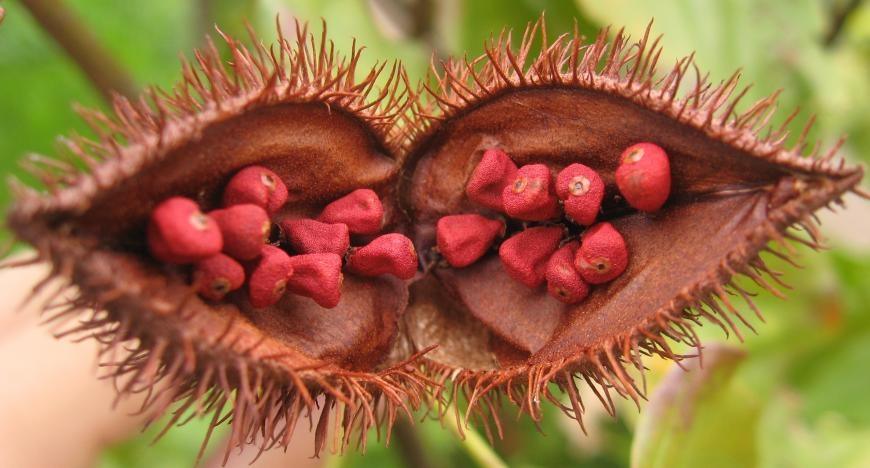 Open fruit of Bixa orellana, showing the seeds from which Annatto is extracted