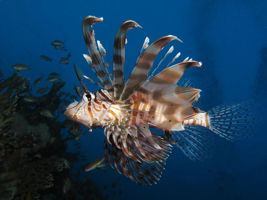 Common lionfish (Pterois miles) at Shaab Angosh reef, Egyptian Red Sea