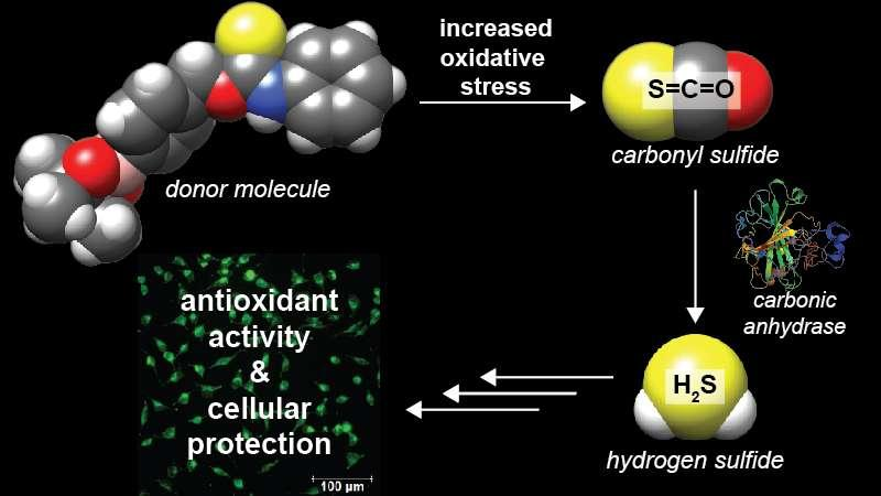 Lab creates new class of hydrogen sulfide donor molecules