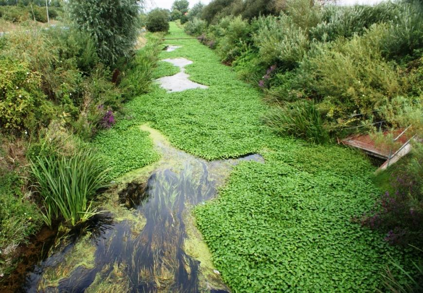 Floating pennywort, an aquatic plant that takes over rivers and ponds in the UK