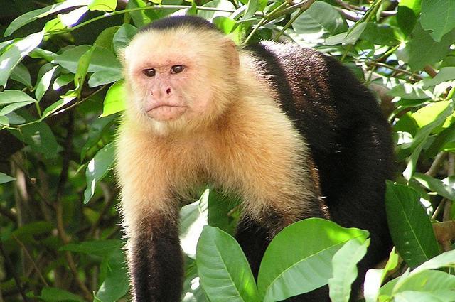 Wild capuchin monkey (Cebus Capucinus) in Costa Rica