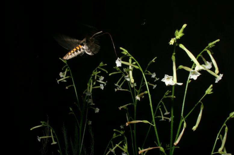 Hawkmoth nectaring on wild tobacco