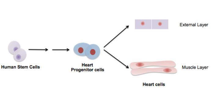 Researchers use stem cells to regenerate the external layer of a human heart