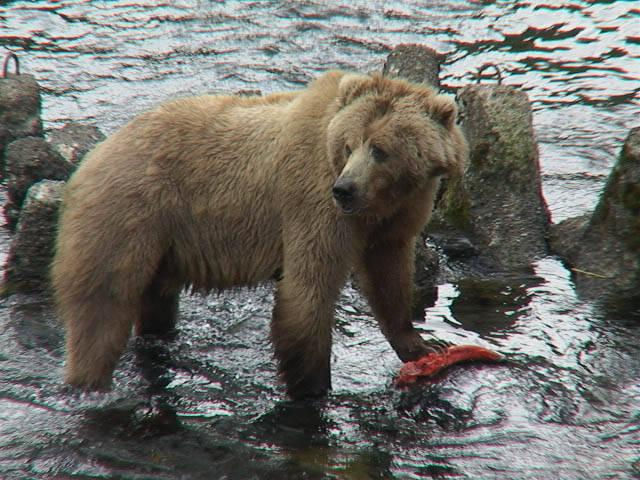 Kodiak bear with a Salmon in a river