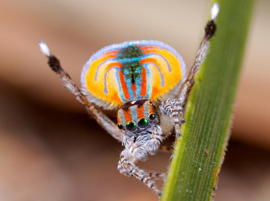 Male peacock spider (Maratus volans)