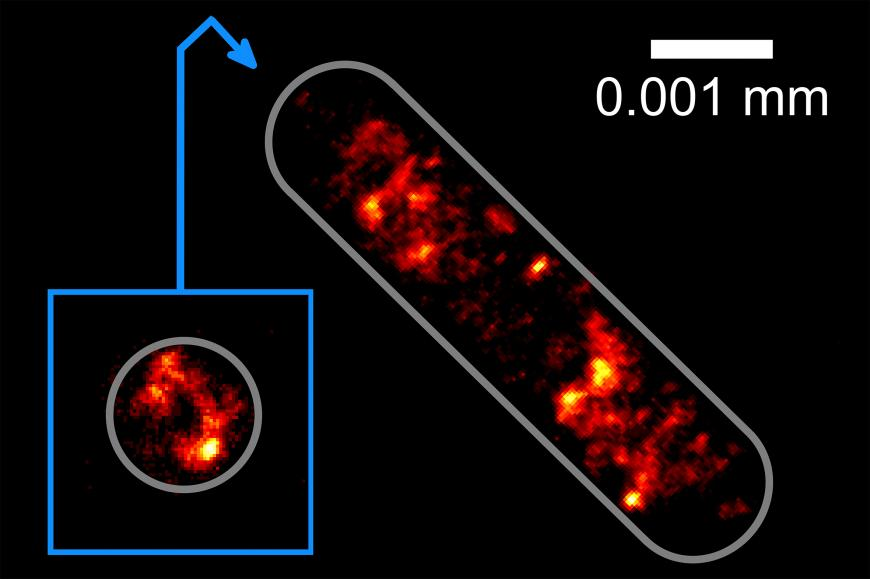 Optical tractor beam traps bacteria