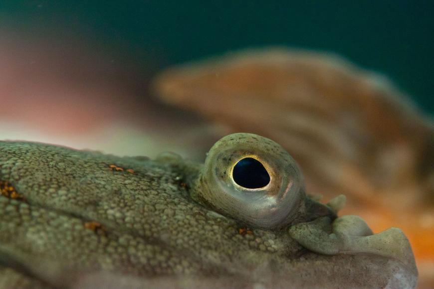 Pleuronectes platessa, the European plaice