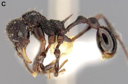 ant species
