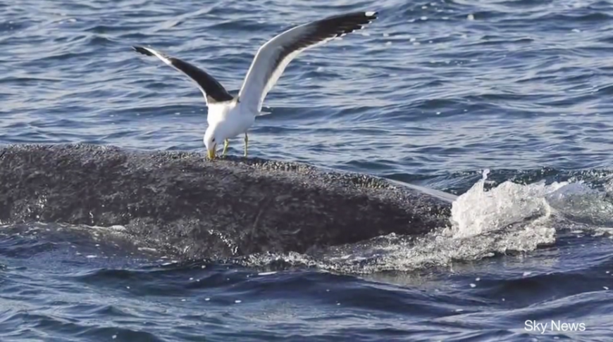 Sea gull eats blubber from a whales' back