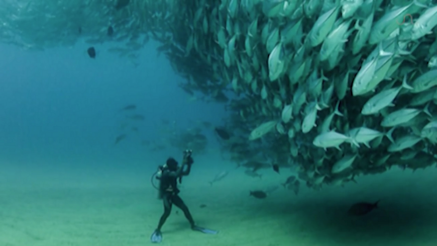 Diver surrounded by a wall of Tuna