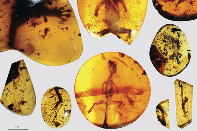 lizard fossils in amber
