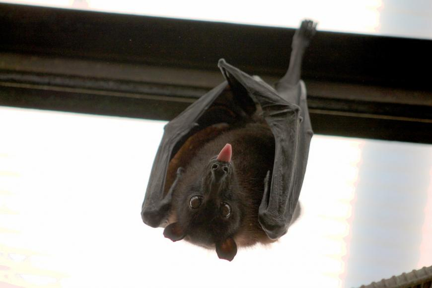 Bat. CREDIT: jochemy / Pixabay