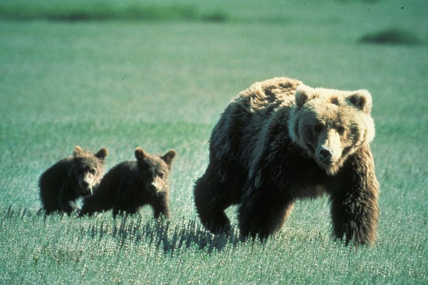 Brown bears, mother and cubs