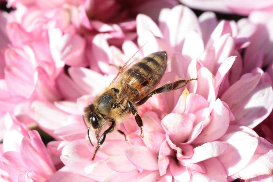 Honeybee on a flower.