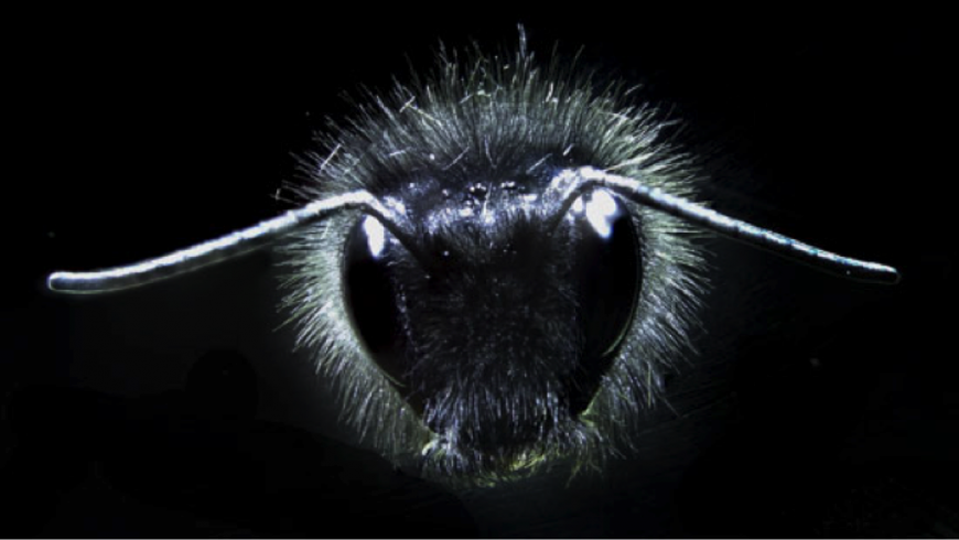 Close up of a bumblebee