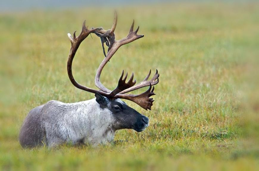 Save The Caribou Save The Planet The Science Explorer