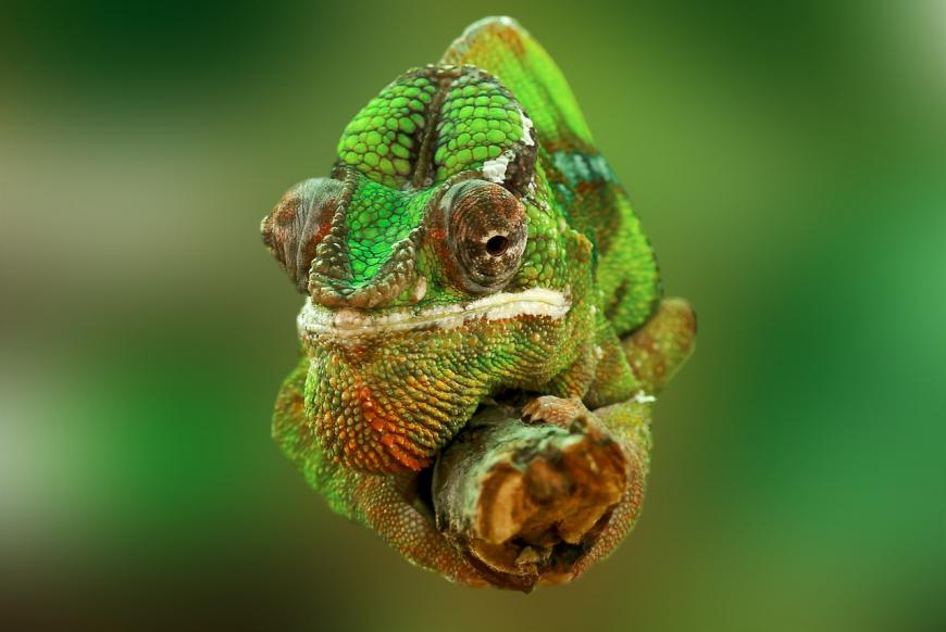 A green chameleon sitting on a branch