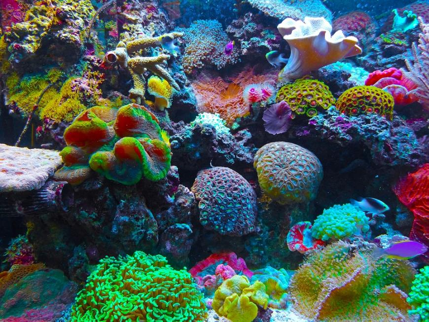 the most beautiful habitats on the ocean the coral reefs has to be saved Coral reefs are falling victim to rising sea temperatures, brought about by climate  change but scientists have found pockets of resistance in the middle east,   corals are not only beautiful -- they are also a vital part of the  in most coral  species, the polyps secrete limestone which forms a hard skeleton.