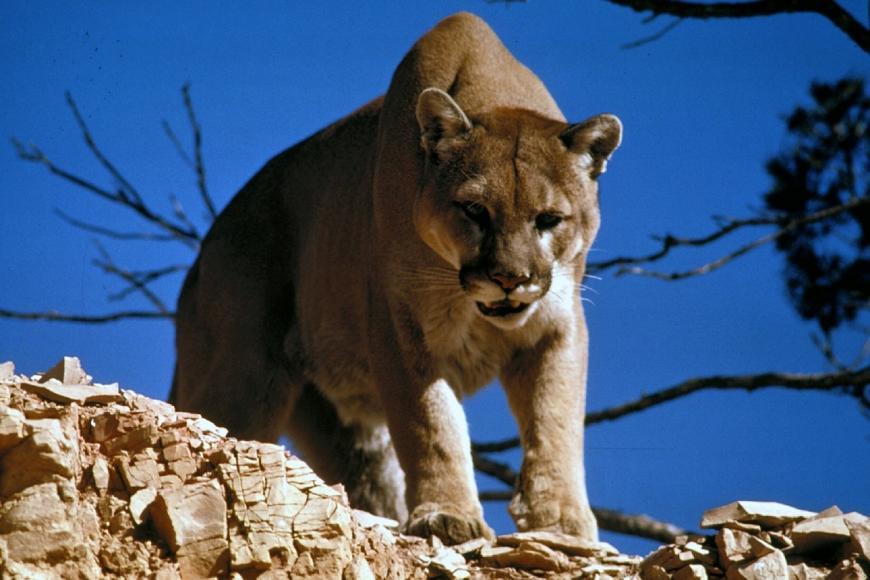 A cougar, puma, mountain lion, panther