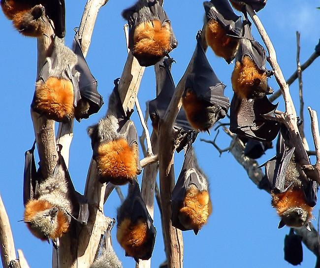 Gray-headed flying foxes roosting. Bats.