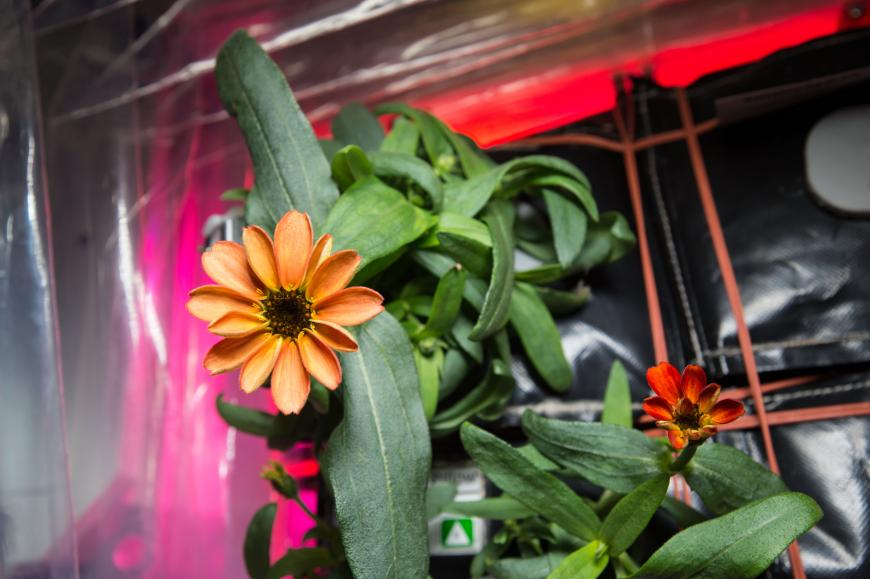 Zinnia flower growing on the ISS in the Veggie planet growth system