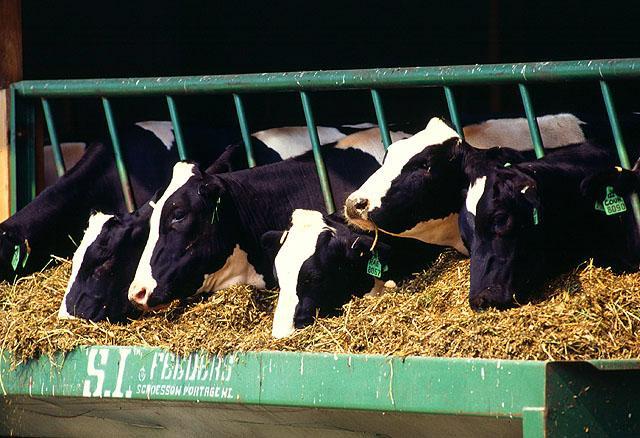 Dairy cows, cattle, farm