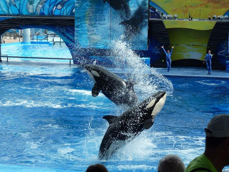 Orca show at SeaWorld