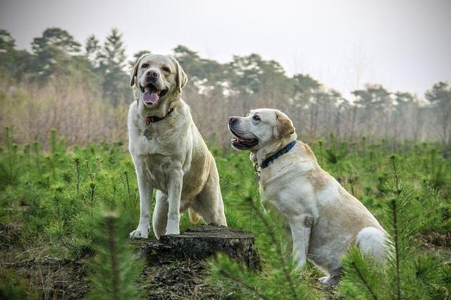 Labradors. CREDIT: Ryaniu1234 / Pixabay