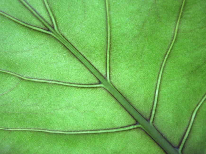 Close-up of a leaf and veins