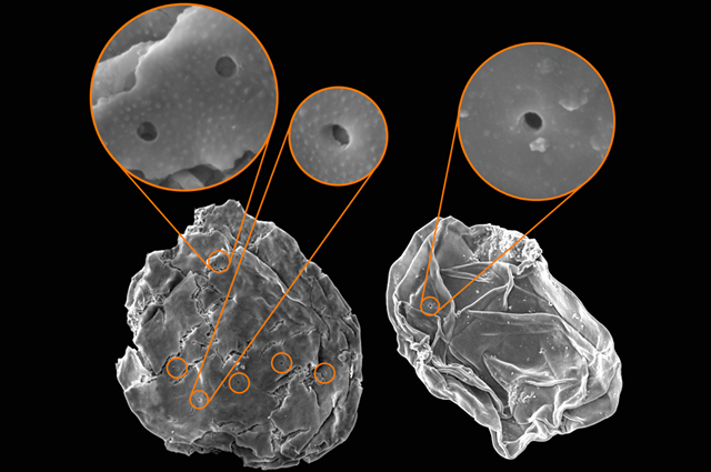 Predatory perforations in microfossils