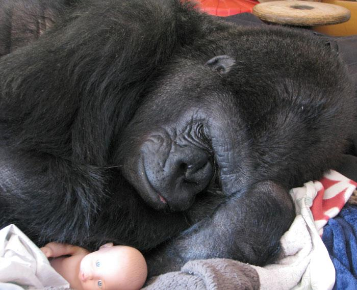 Koko the gorilla naps with her baby doll toy.