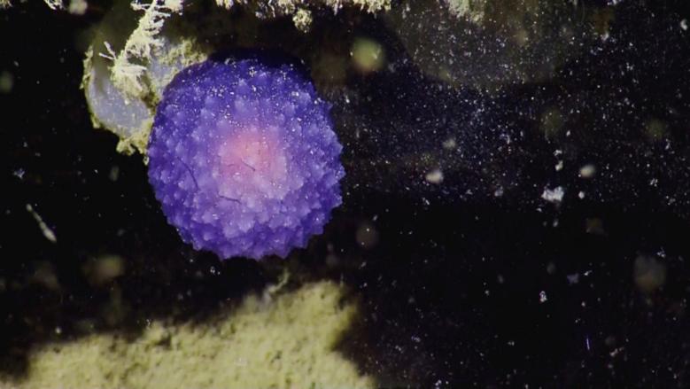 Purple blob found by Nautilus crew on the seafloor