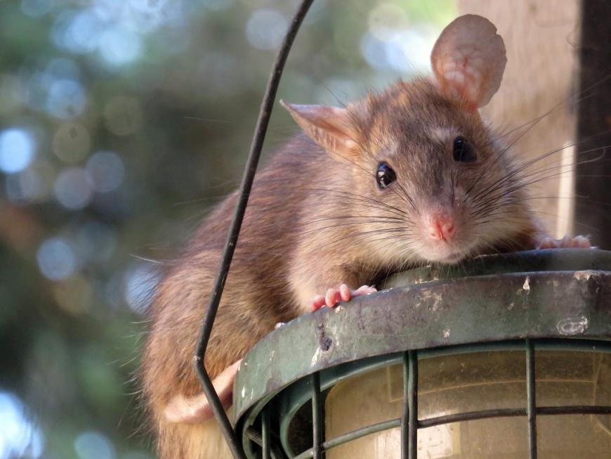 5 Interesting Facts About Rats | The Science Explorer