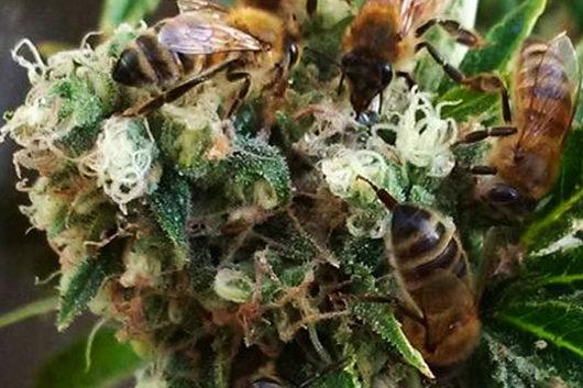 honey bees marijuana