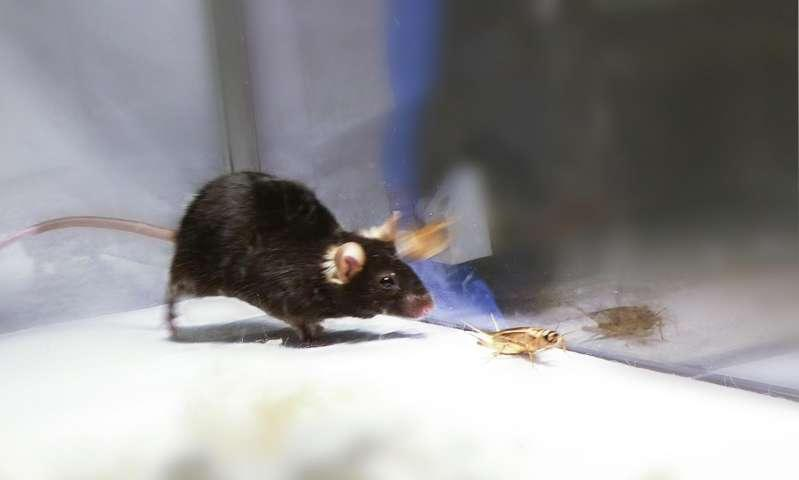 Scientists switch on predatory kill instinct in mice