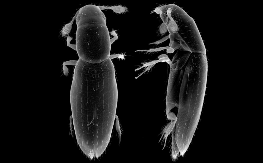 The world's smallest free-living insect, Scydosella musawasensis.