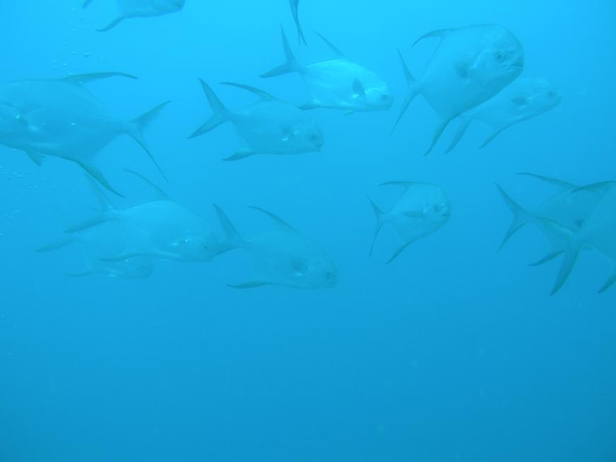 Snub-nosed dart fish