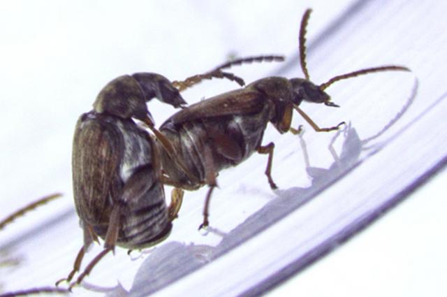 Same sex behavior (SSB) in male beetles