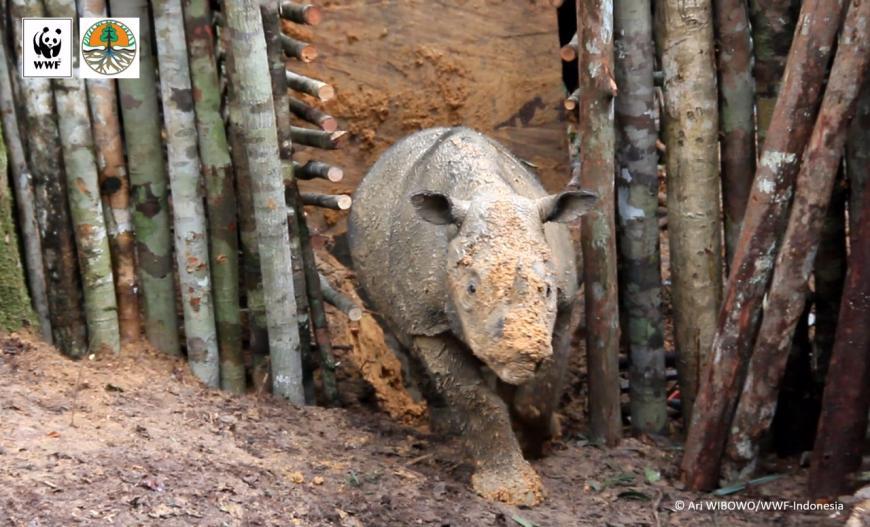 Najaq, female Sumatran rhino