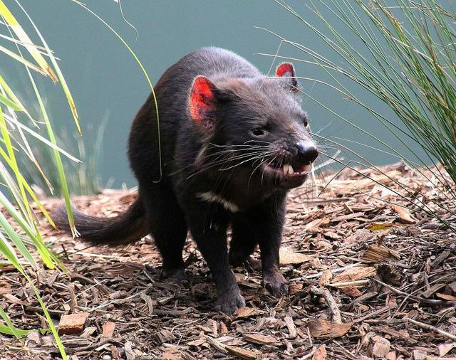 tasmanian devil cancer