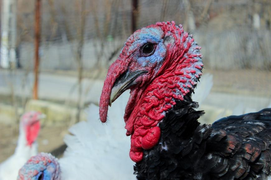 Live turkey on a farm