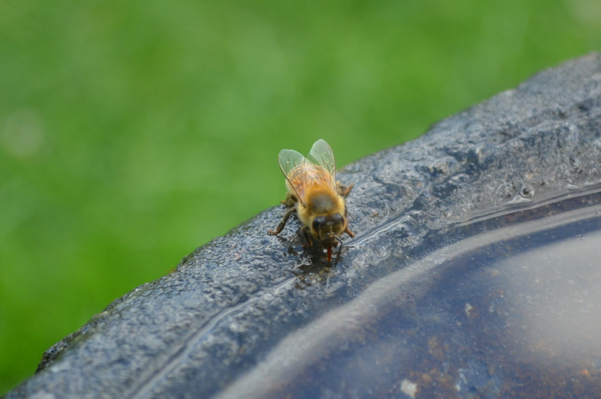 Bee drinking water