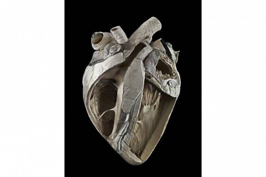 Adult cow heart