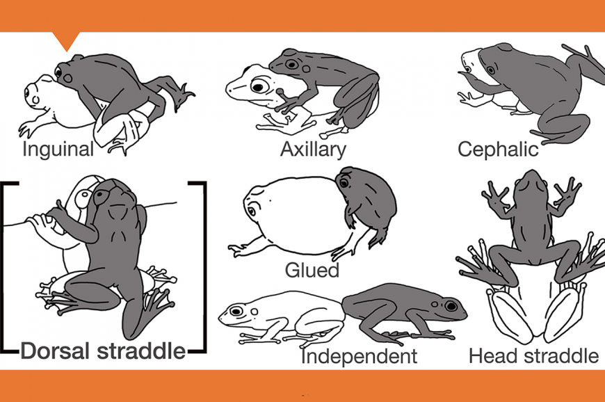 Diagram of the seven mating positions in frog species