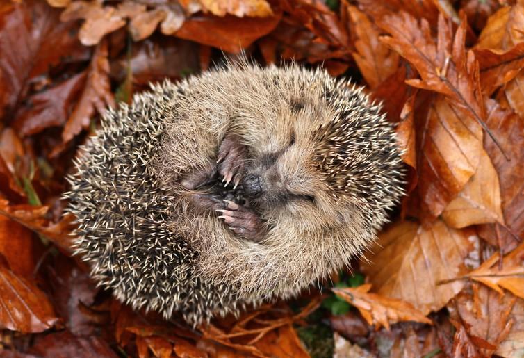 Hedgehog sleeping