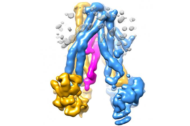 The cold sore virus, shown in pink, inserts itself into TAP, a transporter protein whose function is key to the body's immune defenses. By jamming the transporter, the virus is able to hide from the immune system.