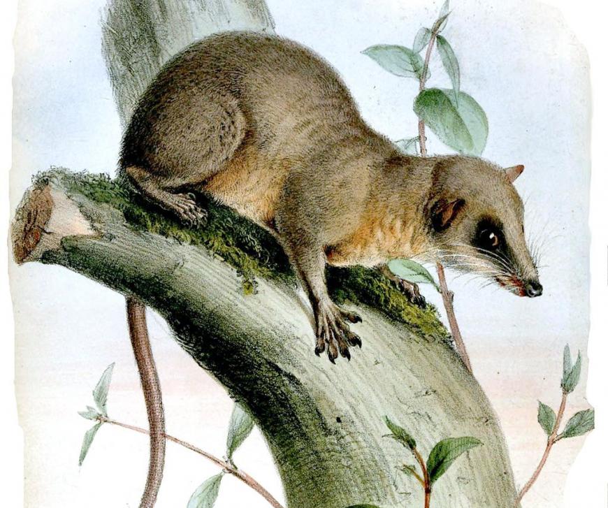 Pen-tailed treeshrew, Ptilocercus lowii